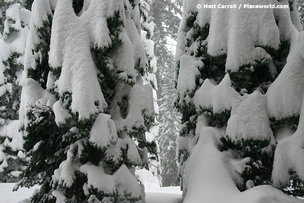 closeup of conifer trees laden with snow