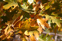 Yellow leaves, black oak