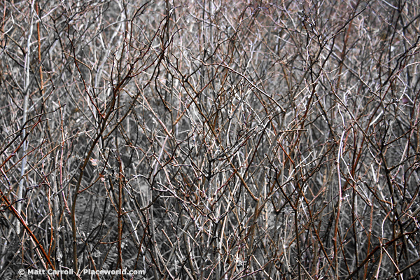 brush thicket