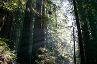 Coast Redwoods #2