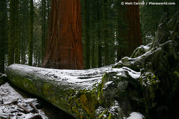 a dead, fallen Sequoia trees and two living, upright ones - Sequoiadendron giganteum