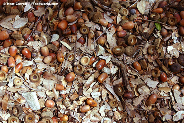 acorns in sunny and shaded patches on forest floor