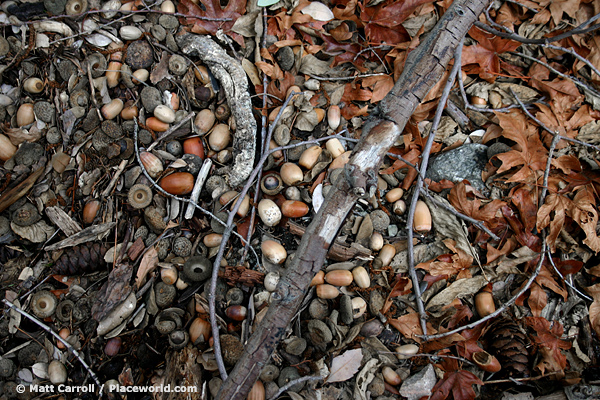 closeup of acorns, branches, and leaves on forest floor