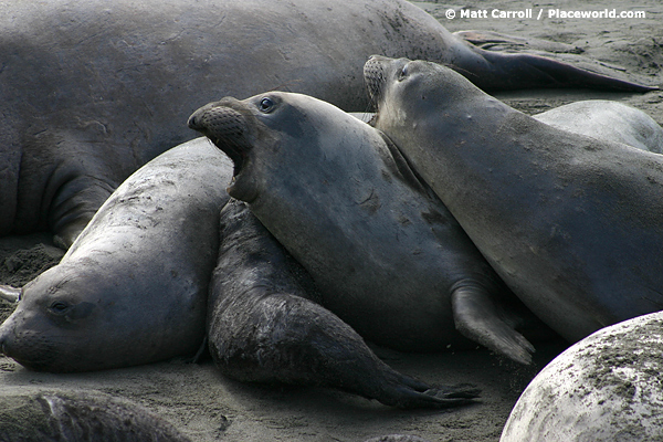 Northern elephant seals - Mirounga angustirostris