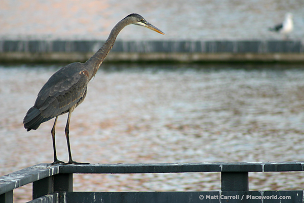 Great Blue Heron - Ardea herodias - perched on railing - photographer Matt Carroll
