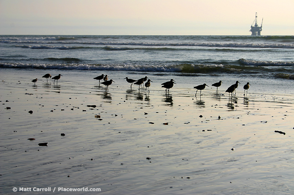 sandpipers (Calidris mauri) and offshore drilling platform