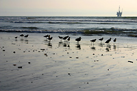 Sandpipers with drilling platform