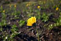 One Desert Sunflower - Geraea canescens