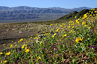 Wildflowers in the Mojave Desert