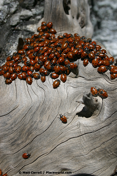 ladybugs converging to mate on a dead log in the San Gabriel Mountains - Hippodamia convergens